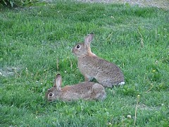 Video: Mother rabbit thumping a warning (Tomi Tapio) Tags: cute rabbit bunny bunnies warning video helsinki wildlife rabbits parenting thump kani thumps pikkuhuopalahti thumping villikani kanit sx100 canonpowershotsx100is