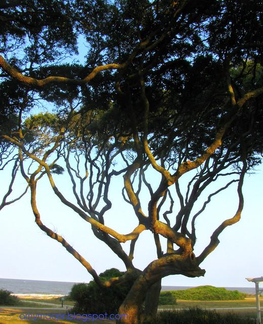 jekyll live oak