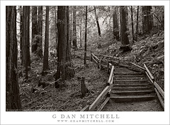 Steps, Ocean View Trail (G Dan Mitchell) Tags: ocean california park travel trees light usa green monument nature stairs forest fence landscape woods view grove outdoor marin stock steps scenic hike trail national trunk redwood railing ferns canopy clover muir filtered induro redwoodsorrell oregonoxalis