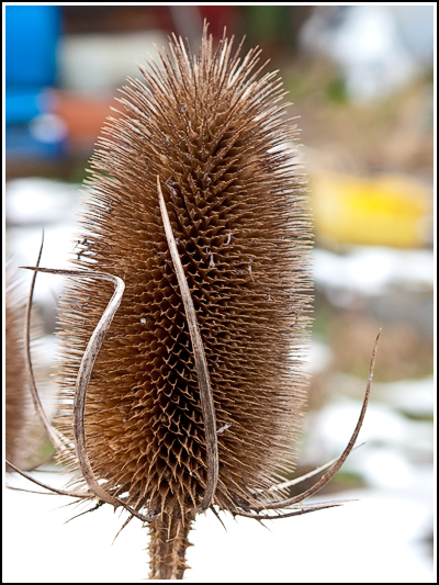 Teasel copy