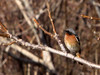 Eversmann's Redstart  (Rufous-backed Redstart)/دم سرخ پشت بلوطی (Mehdi Kavousian) Tags: male bird sitting iran birdwatching redstart touran پرنده wildlfie rufousbackedredstart phoenicuruserythronota inwild پرندهنگری qalebala touranconservedarea دمسرخپشتبلوطی روستایقلعهبالا منطقهحفاظتشدهتوران eversmannsredstart phoenicuruserythronotus