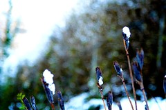 Harsh, but Hardly Unforgiving (Mark Branly) Tags: flowers blue winter white snow black cold green nature canon frozen nc aperture frost durham purple bokeh northcarolina freeze stems bloom