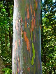 "Eucalyptus (kasiahalka) Tags: 25anniversary bigisland hawaii eucalyptus thewaipiovalley valleyofthekings ""hamakua coast"" ""kohala mountains"" valley ""waipiʻo valley"" river"" river means curved water"" ""pacific ocean"" water outdoor travel ocean sky horses flowers fruits oranges papaya ""valley kings"" cliff cliffs mountains houses"