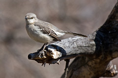 Northern Mockingbird.jpg (HVargas) Tags: photoshopelements northernmockingbird mimuspolyglottos mockingbird birds bird avez turduspolyglottos breeds southeastern tropicalmockingbird mimusgilvus forage fly foraging perch capture wings spread nest birding neighboring animalia phylumchordata class aves order passeriformes family mimidae genus mimus species avianphotography canoneos canoneos40d canonef28300mm canonlens saddlerivercountypark bergencounty newjersey saddlebrook warrenpointbergen canonef100400mml ef100400mmlf4556 ef100400mm