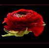 Flamenco (Ellen_Anne (mostly off)) Tags: flowers red fab black rot nature rouge noir natur blumen ranunculus best schwarz fa bestofthebest gbr ranunkel fantasticflower ultimateshot obq oraclex mandalalight absoluterouge