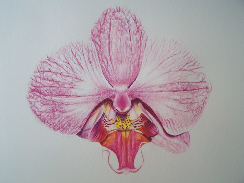 orchid colored pencil 7