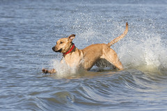 Skinny dipping (!Tara) Tags: sea holland beach water netherlands happy spring play tara zeeland run happydog burghhaamstede hvhe1 crosswhippetshepherdstaffordshireridgeback