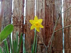 #lente op mijn balkon (Sheila's) Tags: amsterdam spring oak balcony daffodil 2009 020