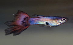 male guppy (Felicia McCaulley) Tags: pink aquarium guppy livebearer