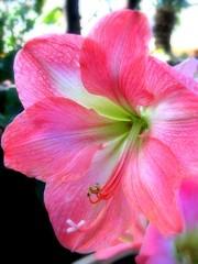 cotton candy (milomingo) Tags: pink flower nature closeup botanical petals flora center conservatory exotic milwaukee amaryllis tropical bloom mitchellparkdomes thedomes pinkalicious