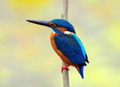Common Kingfisher (Dr. Tarak N Khan) Tags: soe naturesfinest kingfishers specanimal abigfave platinumphoto colorphotoaward avianexcellence theunforgettablepictures goldstaraward aviandiversity vosplusbellesphotos platinumbestshot indianwetlands
