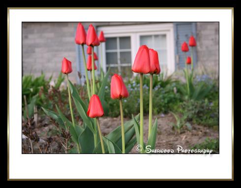 tulips2007