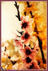 Fiori di Primavera (Pachibro Portfolio) Tags: flowers primavera fleurs canon eos spring fiori fiore 400d canoneos400d pasqualinobrodella pachibroportfolio pachibro