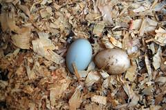 green egg!
