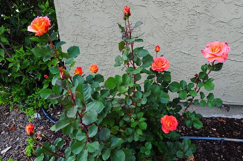 Hemingway Roses Index