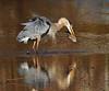 Speared (ozoni11) Tags: lake fish bird heron nature birds animal animals interestingness fishing nikon lakes explore wetlands greatblueheron herons wetland spear speared 290 columbiamaryland spearfishing d300 greatblueherons wildelake interestingness290 i500 explore290 ozoni11