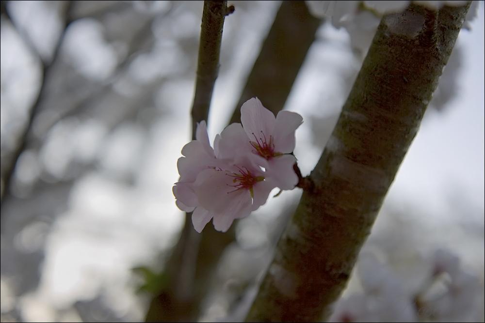 cherry blossoms ©2009 RosebudPenfold