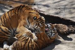 (CPG Photography) Tags: mom andrea kali ivan peter cubs stlouiszoo tikva amurtiger stlouismo zhanna kalistastlouiszooandlambertmarch29th2009
