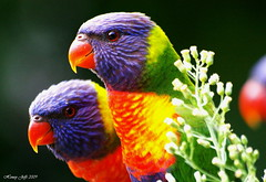 Rainbow lorikeets :-)) (honeypestypie) Tags: birds conservation soe rainbowlorikeets naturesfinest supershot bej specanimal avianexcellence goldstaraward fantasticwildlife vosplusbellesphotos ubej