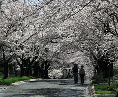 A Blossom Walk (` Toshio ') Tags: road street pink flowers trees boy people woman man flower tree forest cherry washingtondc dc washington petals kid spring districtofcolumbia couple branch child artistic branches blossoms group perspective maryland neighborhood grandparents cherryblossoms hdr kenwood chevychase cherryblossomfestival toshio highdynamicresolution aplusphoto heritage2011