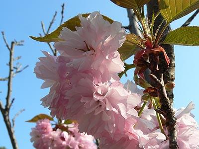 pompons roses.jpg