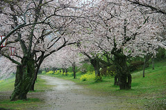 Cherry Blossoms Tunnel in  Rain (h orihashi) Tags: bridge japan cherry landscape searchthebest pentax   sakura yamaguchi cherryblossoms soe breathtaking  iwakuni wmp globalvillage nationalgeographic amazingcolors aphoto aclass peopleschoice archbridge naturesfinest   blueribbonwinner supershot creativephoto bej golddragon naturesgallery mywinners abigfave diamondheart platinumphoto impressedbeauty aplusphoto flickrhearts ultimateshot flickraward crystalaward k20d diamondclassphotographer flickrdiamond superhearts heartawards empyreanland theunforgettablepictures overtheexcellence platinumheartaward betterthangood justpentax everydayissunday theperfectphotographer flickrestrellas cherryontopphotography peaceawards pentaxk20d highqualityimages spiritofphotography rubyphotographer damniwishidtakenthat naturespotofgold thebeautifulimagetop grouptripod colorphotoawardpremier altruisticphotos reflectyourworld
