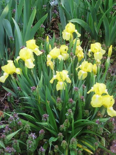 Iris 'Baby Blessed'