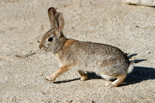 Desert Cottontail Rabbit in Anza Borrego State Park.