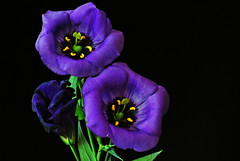 Blue, purple, violet ? (IngeHG) Tags: flowers blue purple thenetherlands violet bouquet manual lisianthus mils nikond60 bej 204365 t189project365 awesomeblossoms