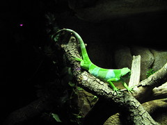 Green / Verde (SamwiseGamgee69) Tags: madrid españa animal animals spain lizard animales faunia lagarto