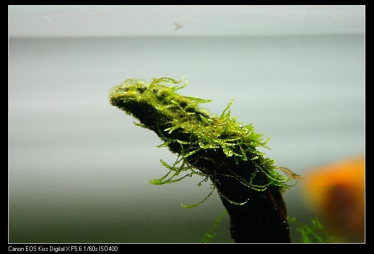 沉木上的黑毛藻