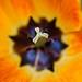 Il cuore arancio di un papavero