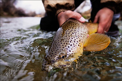 A's Brown - Published (cor23) Tags: spring fishing flyfishing trout streamer browntrout