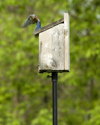 BluebirdSpringdale05052009JGWardIMG_0636
