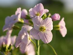 Wild Flower (DaveKav) Tags: uk greatbritain pink wild england flower buxton unitedkingdom britain derbyshire olympus gb ladyssmock e510 fourthirds