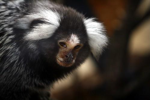 フリー画像| 動物写真| 哺乳類| 猿/サル| 小動物| マーモセット|      フリー素材|