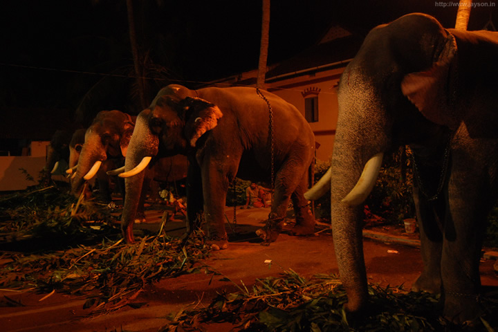 thrissur pooram - Elephants at Paramekkavu temple