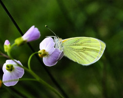 Butterfly On Cuckoo Flower (Rosemarie.s.w) Tags: flowers green nature yellow fauna butterfly purple wildlife may somerset distillery 2009 creativemoment swellwood fractalius vosplusbellesphotos