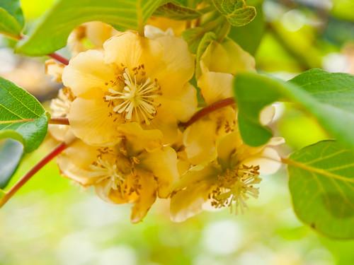 Formosana Actinidia (Taiwanese Kiwifruit) 台灣獼猴桃