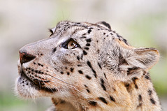 Another portrait of Villy (Tambako the Jaguar) Tags: wild portrait cute male beautiful face cat zoo schweiz switzerland big nikon feline looking zurich kitty fluffy zrich snowleopard felid d300 schneeleopard snowkitty uncia loparddesneiges panthredesneiges