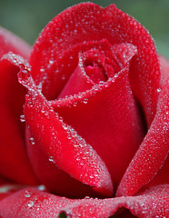 DGJ_5119 - Water drops or a rose