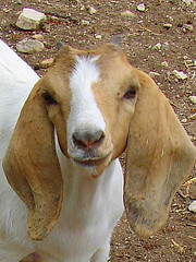 Sweet Faced Girl (Texas to Mexico) Tags: ranch baby texas sweet adorable goat curiosity goatherd prettybaby knippa lovethatface uvaldecounty nubianboermix