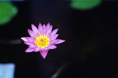 (cash609) Tags: guangzhou china flower film 50mm nikon kodak f14  e100vs fm3a   carlzeiss      135