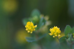 () (joka2000) Tags: flower yellow weed dof idplease naturesfinest bej fantasticflower sucklingclover