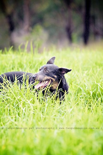 Hide-and-seek Baxter the Kelpie, photographed by twoguineapigs pet photography.