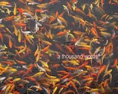 Koi (Reni Orayani) Tags: lake photography philippines laguna lagunadebay metromanila athousandwords reni fishpen muntinglupa orayani renatoorayani nuvali reniorayani legazpisundaymarket baklad