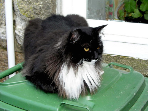 black and white cat. Long-haired lack and white