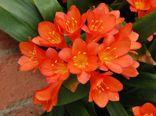 Indoor low light gardening plant profile clivia - Plantas interior resistentes ...