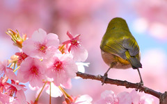 Cherry Blossom Viewing (jcowboy) Tags: mar2009 mar09 march2009 march09 2009 asia japan aichi okazaki nature wildlife animals animal birds bird mejiro  japanese whiteeye  pink green sakura cherry blossoms spring cherryblossomviewing searchthebest naturesfinest