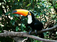 Um tucano Toco exibe sua coloração exuberante nas proximidades de Foz do Iguaçu, PR
